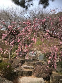 回りの木々より一足先に咲き誇ってました